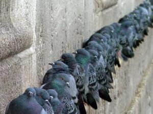 Come allontanare i piccioni dal tetto di casa - Gruppo di piccioni