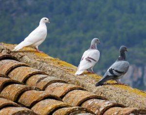 Come allontanare definitivamente i piccioni dal tetto