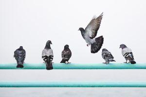 Scovolo dissuasore piccioni
